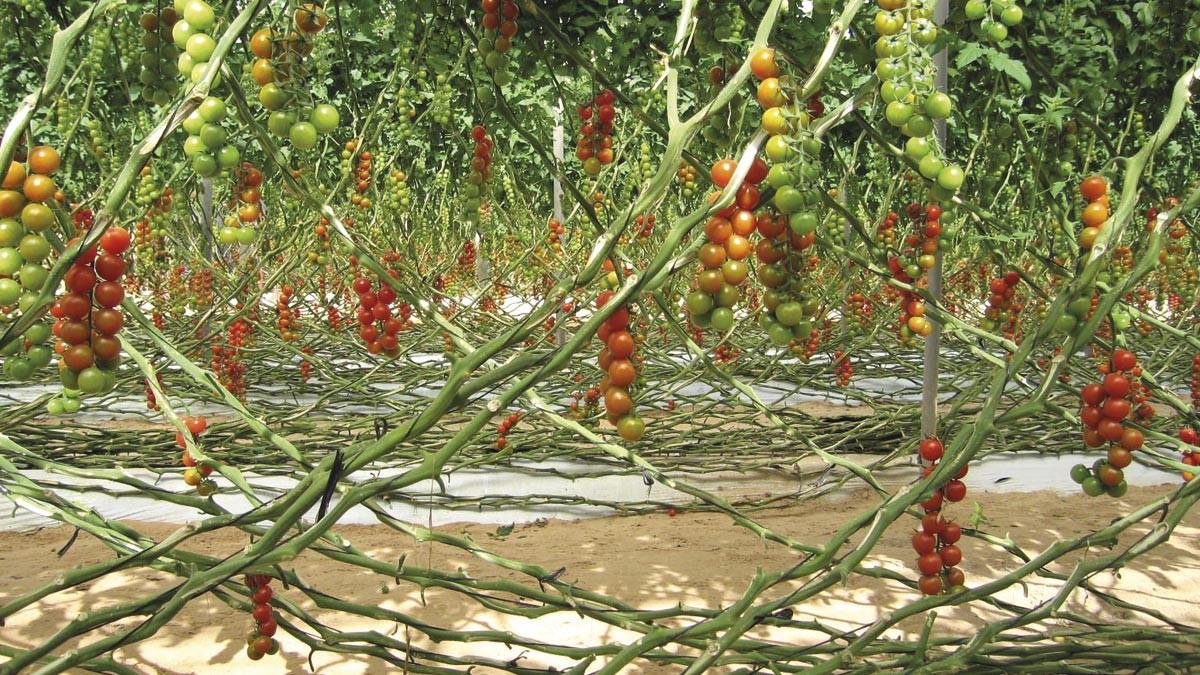 11_tomate_diapo2