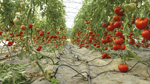 11_tomate_img_conclu