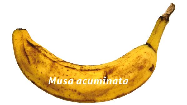 Banane du commerce.