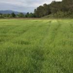 Champ de blé en herbe