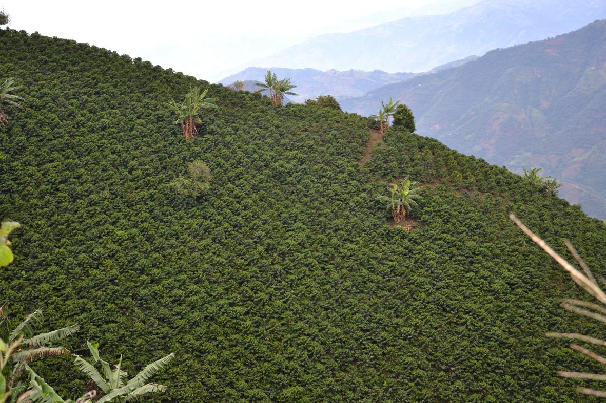 Plantation de caféiers Arabica en association avec des bananiers dans la région de Chinchina (Caldas).