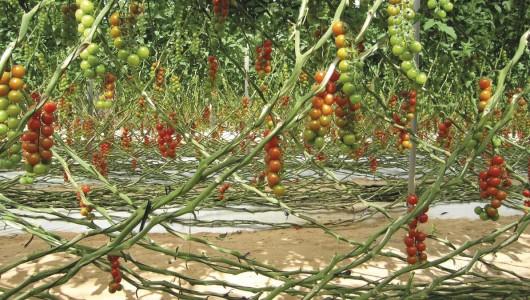Aire de culture de la tomate