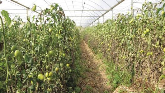 La tomate du futur : que fait la recherche ?