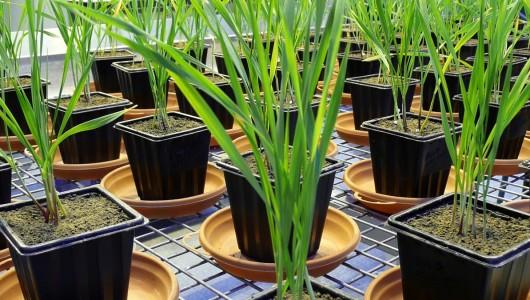 Le blé du futur : que fait la recherche ?