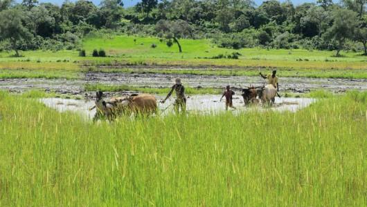 Culture du riz en Afrique
