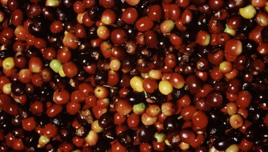 Cerises de caféiers au moment de la récolte (Coffea arabica). cf fiche d'actualité scientifique n° 161.