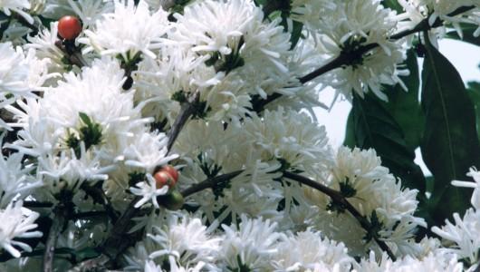 Floraison d'un caféier hybride de Coffea liberica et Coffea canephora.