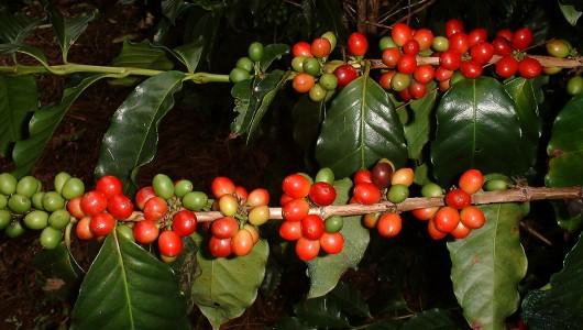 Fructification du caféier Le Roy (Coffea arabica variété laurina ou Bourbon pointu) à Farino en Nouvelle Calédonie.