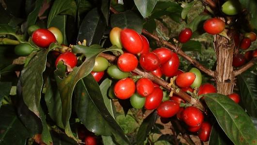 Fructification de caféier Le Roy (Coffea arabica variété laurina ou Bourbon pointu) à Farino en Nouvelle Calédonie.