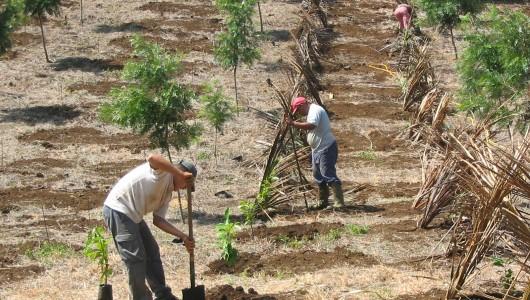 Implantation en champ d'une collection de ressources génétiques des caféiers représentative de la diversité du genre Coffea.